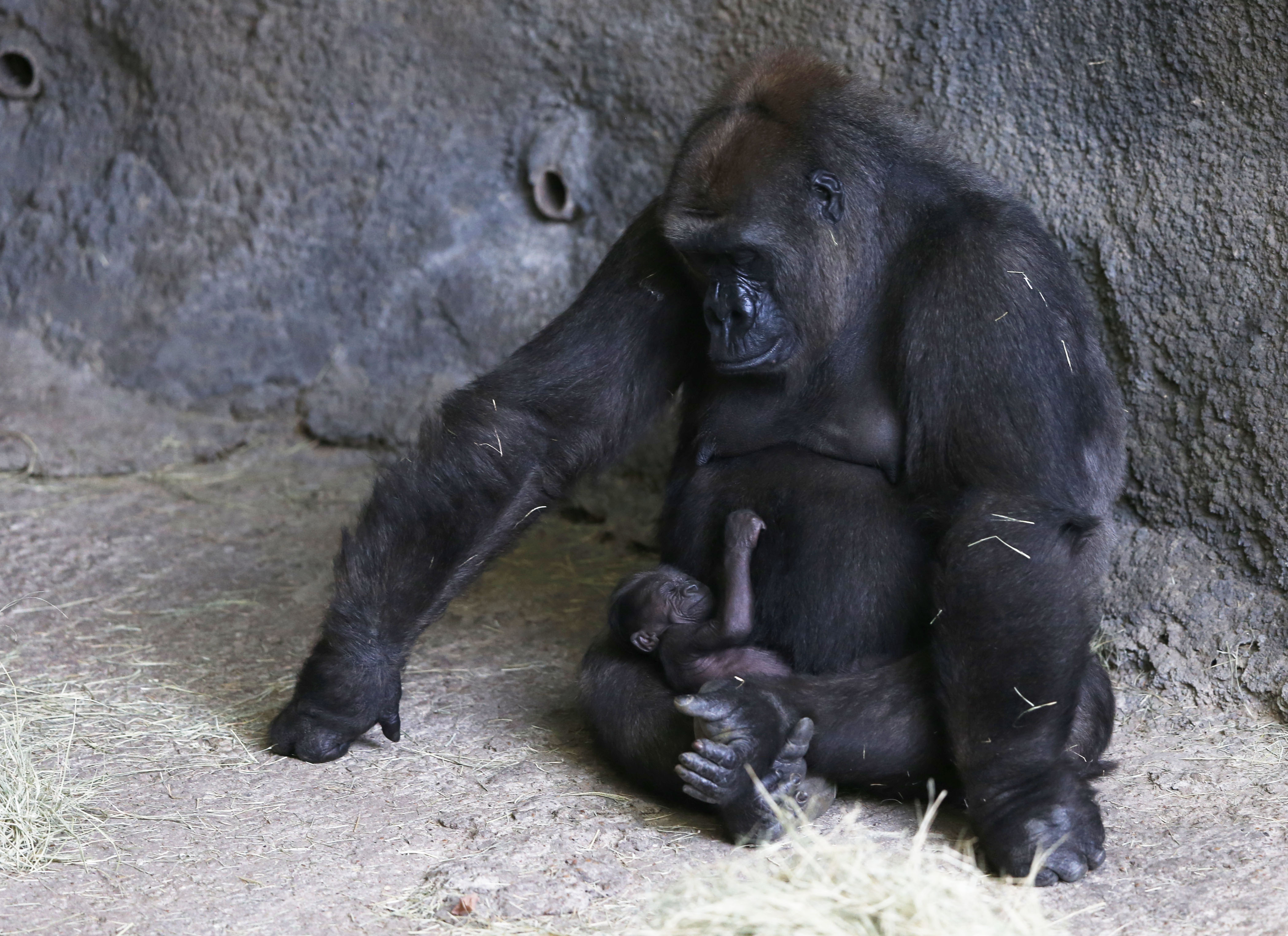 f3e52eeb7d4 Dallas Zoo announces name of its first baby gorilla in 20 years ...