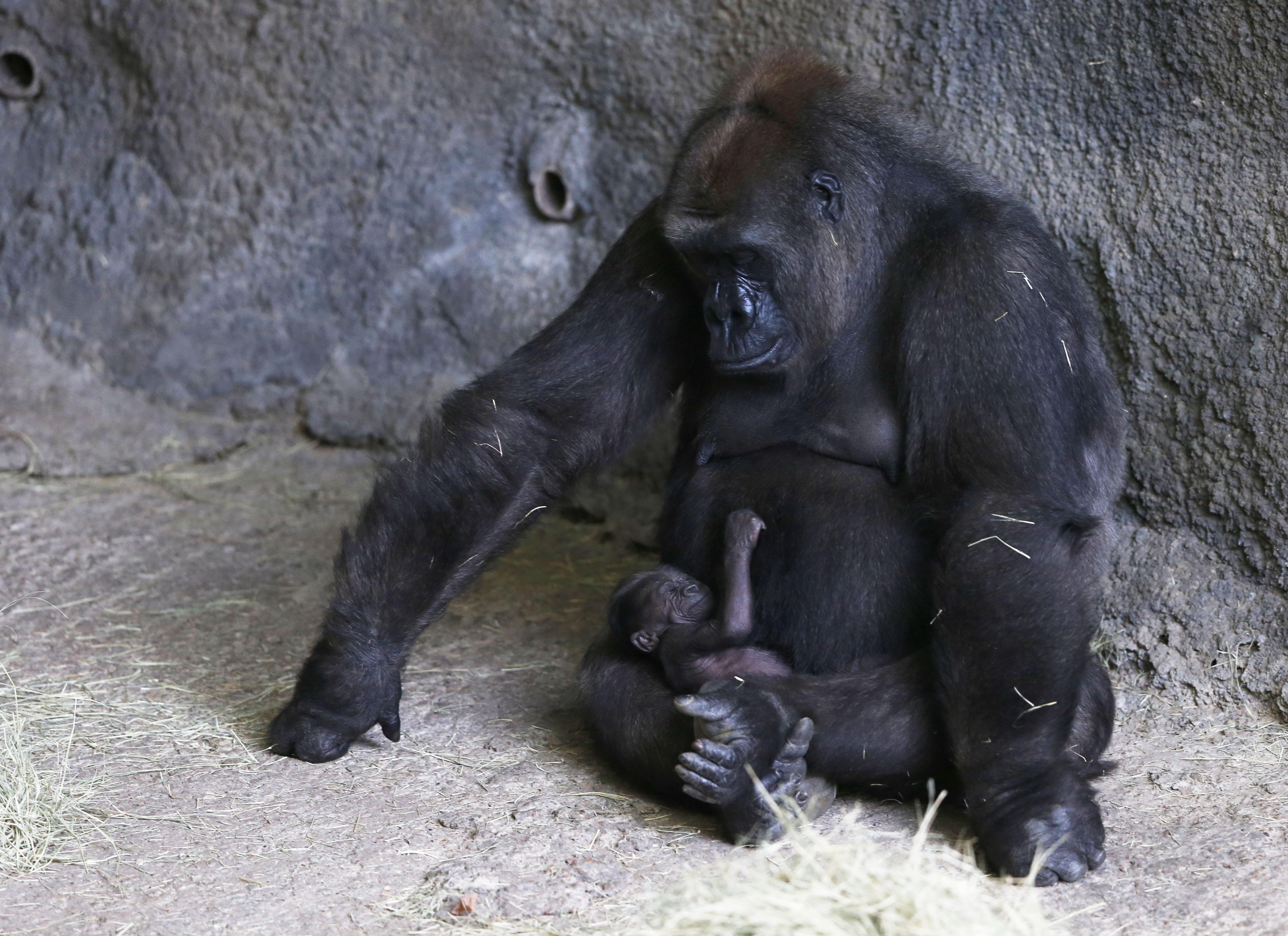 pound a gorilla does 500 sleep Where