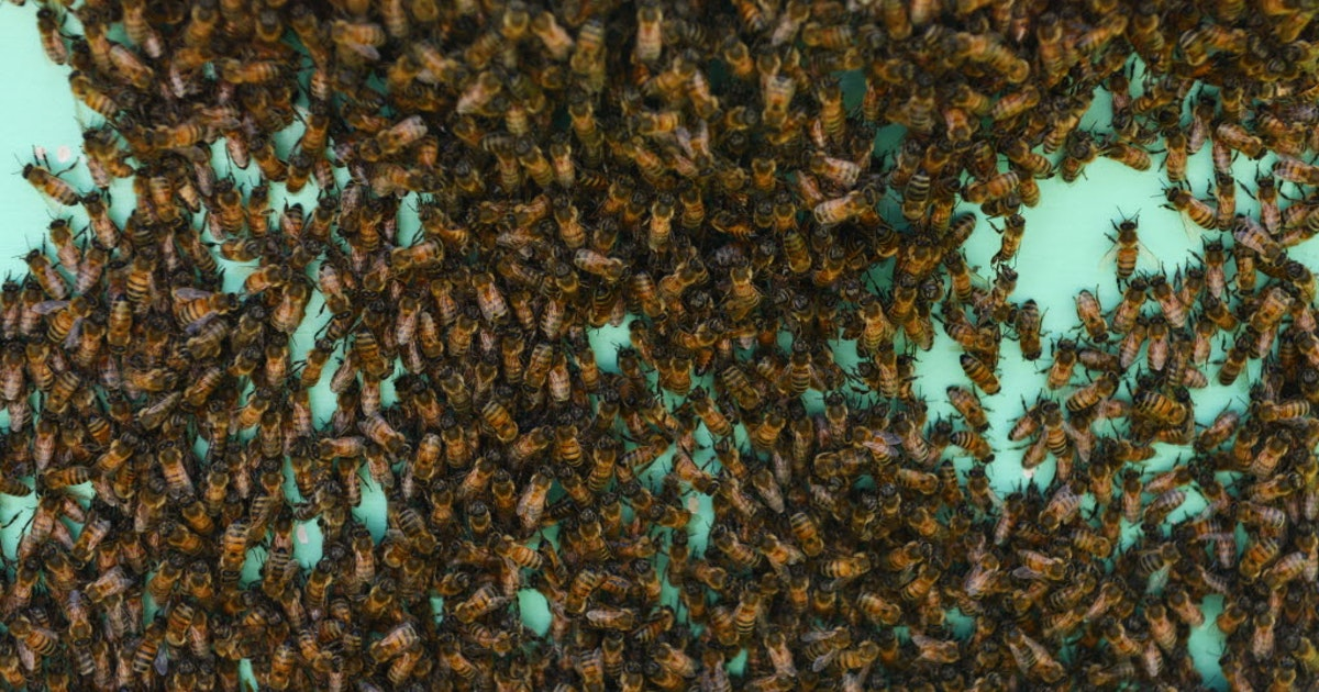 81-year-old Texas man survives 1,000 stings in aggressive bee attack | Texas | Dallas News