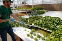 Profound Microfarms owner Jeff Bednar harvests lettuce  inside the hydroponics greenhouse.(Vernon Bryant/Staff Photographer)