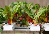 Swiss chard grows in a hydroponics system greenhouse at Profound Microfarms.(Vernon Bryant/Staff Photographer)