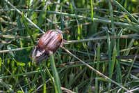 A june bug(Paul van de Velde/Flickr)