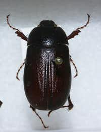 "<p>The&nbsp;<em style=""font-size: 1em; background-color: transparent;"">Phyllophaga hirtiventris </em><span style=""font-size: 1em; background-color: transparent;"">is what's called an 'early bird' scarab beetle that usually appears in April.</span></p>(Texas A&amp;M AgriLife)"