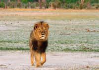 Cecil the lion roamed on the plains in Hwange National Park on Nov. 18, 2012 in Zimbabwe. In July 2015, an American dentist killed Cecil during an illegal hunt in Zimbabwe. The killing spurred new protections for the big cats. Lions from central and West Africa are classified as endangered while those from southern and eastern Africa are listed as threatened under the Endangered Species Act. The protections also cover the sale of animal parts, (File Photo/TNS)