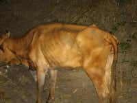 One of the six malnourished cows found in Navarro County.(Navarro County Sheriff's Office)