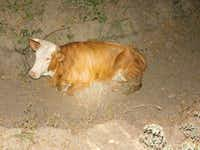 The starving cows were taken to a nearby veterinary clinic after their rescue.(Navarro County Sheriff's Office)