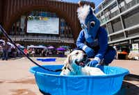 In this 2017 file photo, Dallas Mavericks mascot Champ pets Russell the dog as he lounges in a pool at Paws in the Plaza, an event benefiting the SPCA of Texas at the American Airlines Center plaza in Dallas.(Ashley Landis/Staff Photographer)