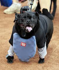 Maggie, a pug mix owned by Jessica Bulligton, dressed as an umpire during the Bark in the Park at Rangers Ballpark in Arlington on May 15, 2012. (Michael Ainsworth/Staff Photographer)