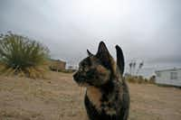 An resident cat wanders the grounds on a cold December day at El Cosmico in Marfa. Look, sometimes cats just do what they want.(Guy Reynolds/Staff Photographer)