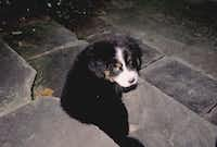 Bernese mountain dog, Tully, was the culprit in brown grass.(Howard Garrett/Special Contributor)