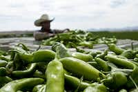 A worker harvests Hatch chiles near Hatch, N.M. (New Mexico Tourism Department)