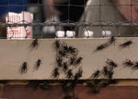 Crickets, like baseball, are a staple of Texas summers. In 2012, thousands of crickets filled parts of the field, camera wells and dugouts at the Rangers ballpark in Arlington, Texas.(Brad Loper/Staff Photographer)