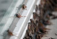 Crickets crowd together in front of a building in downtown Dallas.(Vernon Bryant/Staff Photographer)