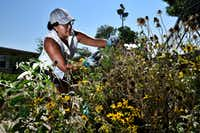 Parent and volunteer Maria Amaya, 36, tends to a wildflower garden bed in the Edwin J. Kiest Elementary School garden on July 25, 2018 in Dallas. (Ben Torres/Special Contributor)