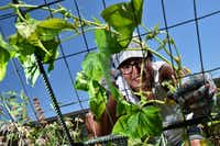 Parent and volunteer Maria Amaya, 36, tends to a cucumber vine while working the garden at Edwin J. Kiest Elementary on July 25, 2018 in Dallas. (Ben Torres/Special Contributor)