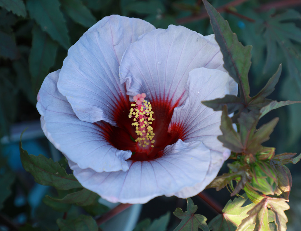 New Texas Bred Blue Hibiscus Flowers Arrive In Stores This Weekend