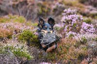 "Brig the dog retrieves a grouse shot on <g class=""gr_ gr_11 gr-alert gr_gramm gr_inline_cards gr_run_anim Grammar only-ins replaceWithoutSep"" id=""11"" data-gr-id=""11"">first</g> day of the grouse shooting season on Forneth Moor on Monday, Aug. 13, in Dunkeld, Scotland. Gamekeepers are expecting a poor grouse shooting season this year, due to the heavy snowfall in March followed by a warm dry summer that has affected the number of birds breeding successfully.(Jeff J. Mitchell/Getty Images)"