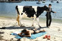 "Clint Irrthum walks a cow past a sunbather on the sand as part an Andrew Baines art installation on Double Bay Beach on Tuesday, Aug. 14 in Sydney, Australia. Surrealist artist Andrew Baines orchestrated the spectacle to give the cows a day of rest and relaxation, and break from the mundane and monotonous regime of milking in Sydney's affluent eastern suburb of Double Bay.(Mark Kolbe/<p><span style=""font-size: 1em; background-color: transparent;"">Getty Images</span></p>)"