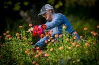 Amanda Vanhoozier cuts zinnias.(Robert W. Hart/Special Contributor)