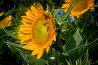 Giant sunflowers (Robert W. Hart/Special Contributor)