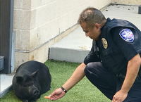 Officer James Intia feeds the pig, which was captured Wednesday morning.(Keller Police Department)
