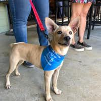 Get a free bandanna at the National Dog Day yappy hour at Henry's Tavern in Plano.