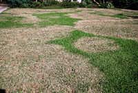 Brown patch is one of the common fungal diseases in a St. Augustine lawn.(Howard Garrett/Special Contributor)
