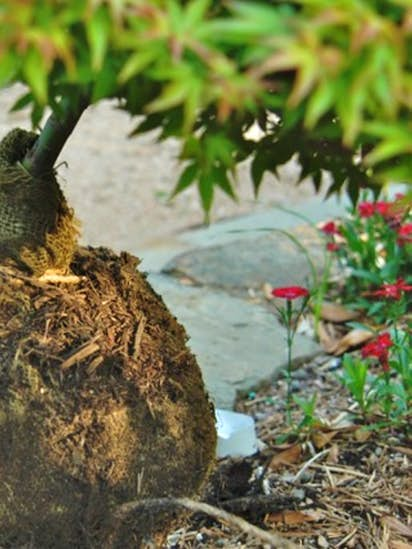 5 mistakes not to make when planting new trees this fall | Gardening ...