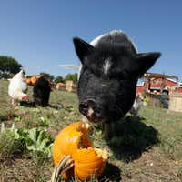 Lola the pig and some chickens snack on pumpkin and lettuce at Lola's Local Market.(Jason Janik/File 2016)