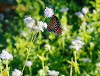 Gregg's blue mistflower will be available at the Texas Discovery Gardens sale.(David Woo/Staff Photographer)