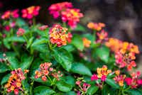 A Texas native lantana plant(Ashley Landis/Staff Photographer)