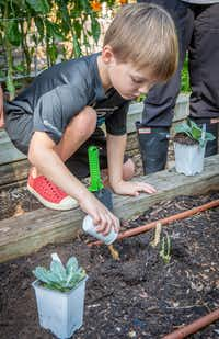 Pre-K student Tommy Gallichio pours fertilizer to plant kale in the school's garden at the Temple Emanu-El school in Dallas.(Ron Heflin/Special Contributor)