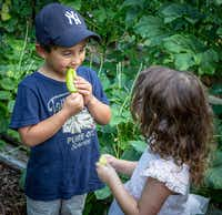 Pre-K students at Temple Emanu-El bite into banana peppers.(Ron Heflin/Special Contributor)