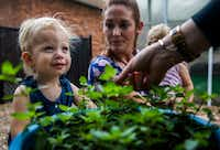 Palmer Richards is offered a chance to smell chocolate mint leaves at The Orchard School in Plano.(Ashley Landis/2017 File Photo)
