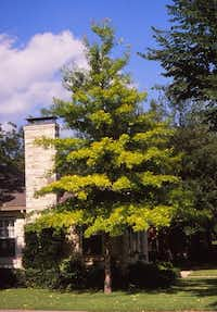 """Sick red oak with pin oak """"blood."""" This tree is close to a full blood pin oak.(Howard Garrett/Special Contributor)"""