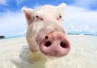You can get up close and personal with the swine on Pig Beach.(Bahamas Ministry of Tourism/Courtesy)