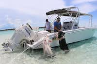Tour boat captains know the pigs are their meal ticket. The pigs often get some food out of the deal, as well.(Bahamas Ministry of Tourism)