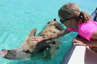 The animals attract numerous tour boats, and they're accustomed to visitors.(Bahamas Ministry of Tourism)