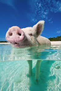 The swimming pigs actually prefer to wade. (Bahamas Ministry of Tourism/Courtesy)