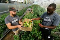 Ford James (left) and Barron Horton, landscape and greenhouse supervisor, pick peppers from raised dirt beds at Big Tex Urban Farms.(Nathan Hunsinger/Staff Photographer)