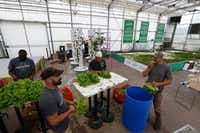 From left: Barron Horton, landscape and greenhouse supervisor, Ford James, Don Fisher and Robert Blakmon harvest lettuce at Big Tex Urban Farms.(Nathan Hunsinger/Staff Photographer)