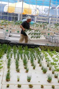 Don Fisher removes some chives grown through hydroponics from Big Tex Urban Farms.(Nathan Hunsinger/Staff Photographer)