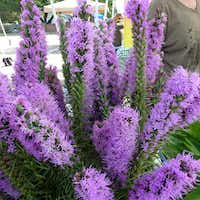 John Wolf grows this liatris, or bottle brush, at Wolfsong Farm in Forney. He says it retains its bright color even when dried. He'll have stems for a couple more weeks.(Kim Pierce/Special Contributor)