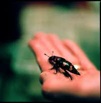 The American burying beetle, once found in 35 states.(File Photo/The New York Times)