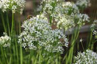 In late summer, garlic chives produce tall white flower heads that are enjoyed by bees and butterflies. (Ann McCormick)