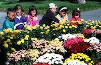 """<p><span style=""""font-size: 1em; background-color: transparent;"""">The Girl scouts from troop #2640, Mitchell Elem school in Plano, look&nbsp;at some of the 14,000 blooming chrysanthemums in October, 1997. (Staff Photo)</span></p>"""