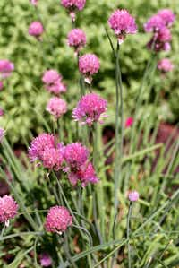 Onion chives (Evans Caglage)