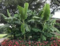 Banana plants grow well in North Texas, but don't expect fruit.(Howard Garrett/Special Contributor)