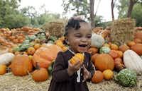 Zion Elzie carries a pumpkin at the Pumpkin Village in September, 2014. (Associated Press File Photo)
