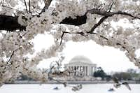 Aside from all of the attractions associated with being the nation's capital, Washington D.C.'s annual cherry blossom festival attracts about 1 million visitors each spring.(Manuel Balce Ceneta/The Associated Press)